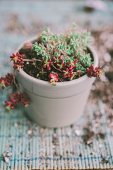 Small  succulents in a little pot. on a blue background