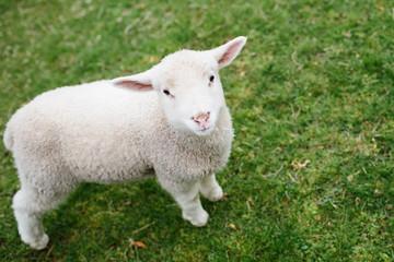 little lamb standing in pasture
