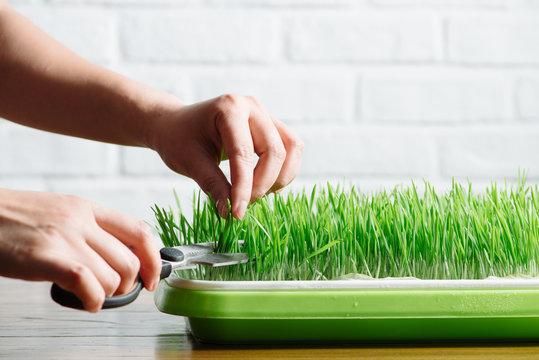 Woman cutting wheatgrass