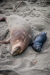 Elephant Seal Mother and Pup