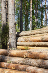 Trunks of pines, wood