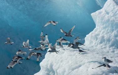Flock of Gulls on Iceberg, Endicott Arm, Alaska