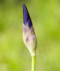 closed bud of a blue iris