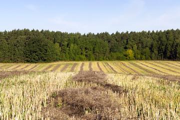 dark straw rapeseed.