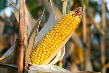 agriculture, corn closeup