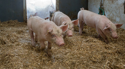 Biological pig farming. Free range pigs.
