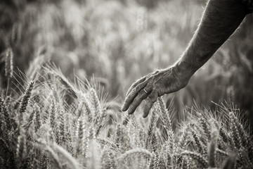 hand of a farmer caressing wheat ears in a field