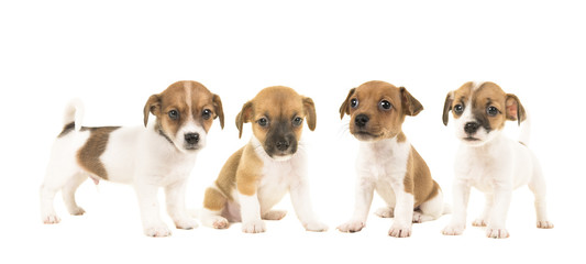 Litter of four jack russel terrier puppy dogs isolated on a white background