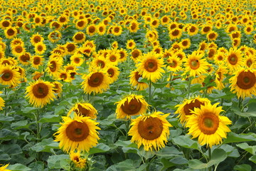 field with common sunflowers (Helianthus annuus)