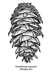 Douglas fir illustration, drawing, engraving, ink, line art, vector