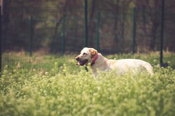 Beautiful Labrador retriever in a tall grass