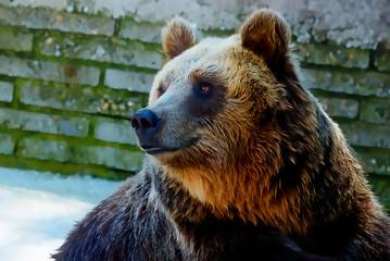 bear face. Photos and graphic effect. Profile portrait.