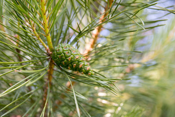 Pine branch with young green cones close-up