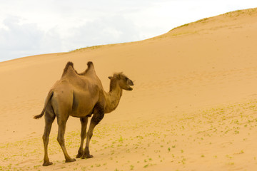 Khongor Els Bactrian Camel Walking Up Sand Dunes