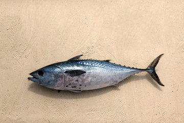 Freshly caught tuna in the sand