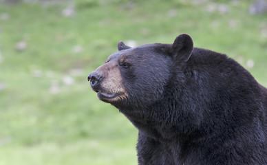 Black bear portrait in the meadow in autumn