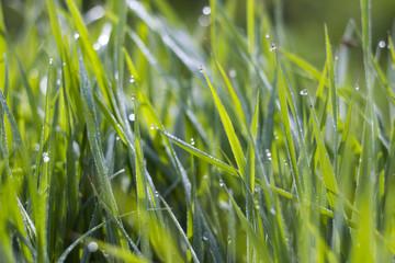 Fresh green grass. Soft Focus.