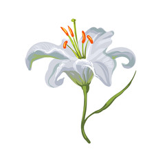 Vector realistic vivid white lily on white