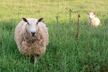 Mother sheep with baby lamb walking through tall grass - BFL (Blueface Leister)