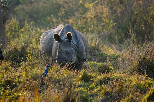 Rhino at Chitwan National Park in Nepal