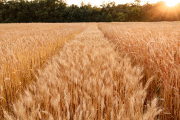 field of hard wheat summer harvesting and nature background