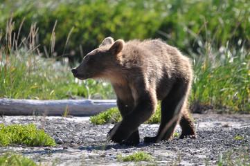 young brown bear in Alaska, walking around