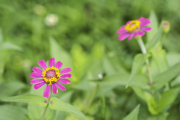 Pink zinnia flower bloom on background blur