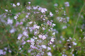A lush bush with little deorativnyh flowers