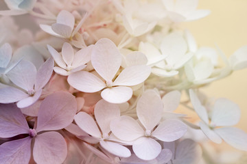 Spoed Fotobehang Hydrangea Abstract background of hydrangea paniculata flowers
