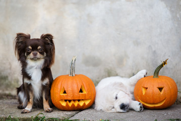 adorable chihuahua and puppy posing with pumpkins