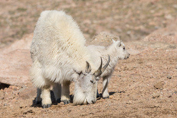 Mountain Goat Nanny and Her Cute Kid