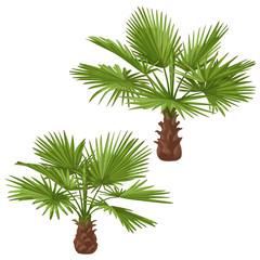 Washingtonia Palm Trees Isolated
