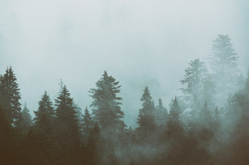 Foggy morning summer landscape with fir trees, seasonal travel hipster background