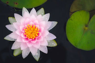 pink lotus in pond in top view. important flower in buddhism. nature flower background.
