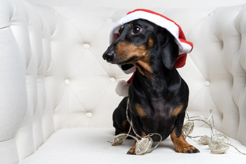 Adorable  dog (puppy) dachshund, black and tan, wearing Santa hat and wrapped in a New Year's garland, ready for Christmas, sits in a white armchair.
