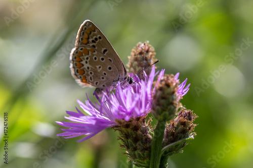farfalla su fiore lilla