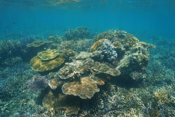 Diversity of corals underwater on a shallow reef in the lagoon of Grande Terre island in New Caledonia, south Pacific ocean, Oceania