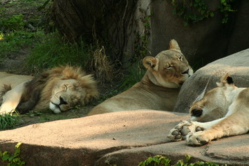 Lions, King of the Jungle