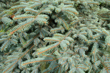 Fluffy branches of blue spruce. Lovely delicate luxurious spruce needles. Fir tree close.