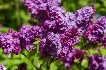 Spoed Foto op Canvas Lilac Lilac Flower in Springtime