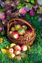 Корзина с яблоками на траве в осеннем саду