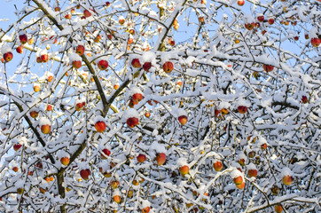 Autumn  apples harvest on tree covered fresh snow, autumn background