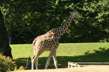 giraffe, zoo, wild, neck, tall, legs, spots