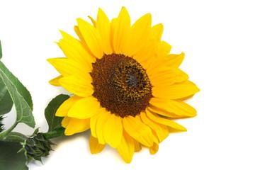 one ordinary bright yellow blooming sunflower