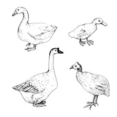 hoome birds sketch