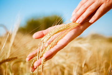 Toned image of human hands with rye spikelets