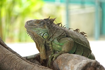 Green Iguana reptiles. Perfect portrait of a green iguana reptiles and close up on selective focus.