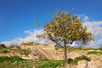 Fototapete - Wild apple tree among ancient ruins in Kato, Cyprus