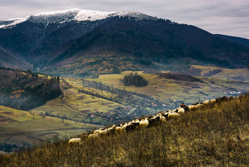 herd of sheep on hillside in rural area. lovely mountainous countryside scene with snowy peak in late autumn