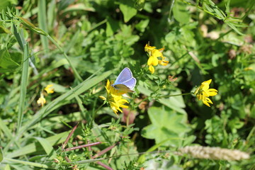 Schmetterling: Seltener Bläuling in einer Blumenwiese